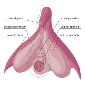 The Internal Clitoris